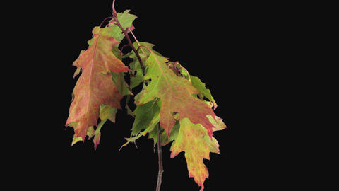 Time-lapse of drying Acer leaves in RGB + ALPHA matte format GIF