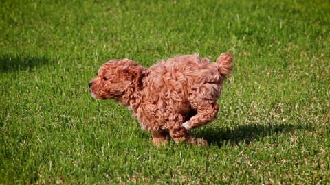 Cute poodle puppy playing in slow motion Archivo