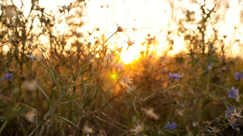 Beautiful sunset. Wildflowers are blue. The camera is in motion. Beautiful place Live Action
