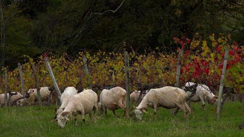 Sustainable development, Flock of sheep grazing grass in Bordeaux Vineyard Archivo