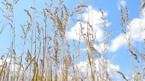 Tall grass on a background of blue sky with white clouds. Strong wind ビデオ