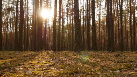 Beautiful sunset in a pine forest. Bright sun rays through the trees. The camera ビデオ