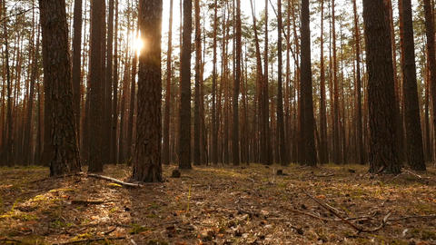Old pine forest. The bright rays of the sun. Camera movement. Slow motion. Green ビデオ