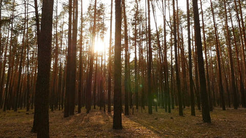 Bright rays of the sun in a pine forest. Beautiful sunset. Camera moves through ビデオ
