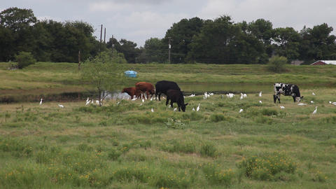 Cattle and white Cattle Egrets in a field Footage