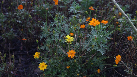 Yellow and Orange flowers Footage