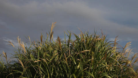 Pampas Grass blowing in the wind Footage