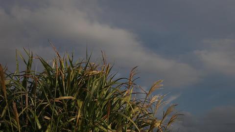 Pampas Grass Footage