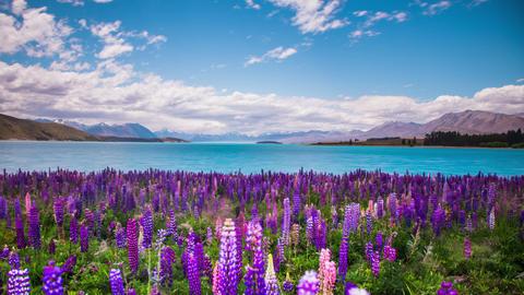 Time Lapse - Beautiful Lupine Flowers by Lake Tekapo, New Zealand Footage