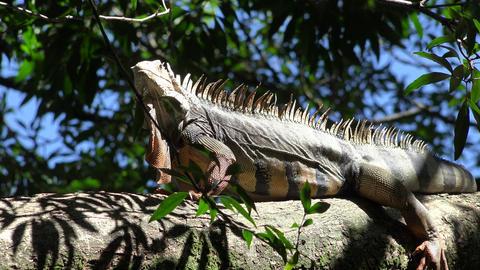 Wild Iguana Climbing Trees Footage