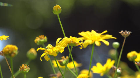 Wild Yellow Flowers and Stems Footage