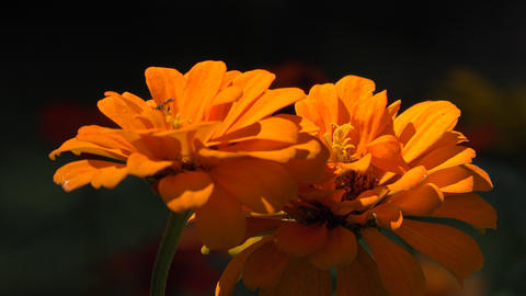 Orange Wild Flowers and Insect Live Action