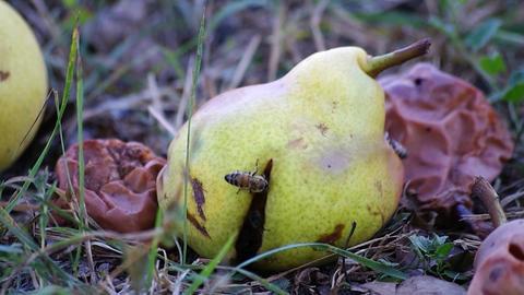 Bee eating ripe pears Footage