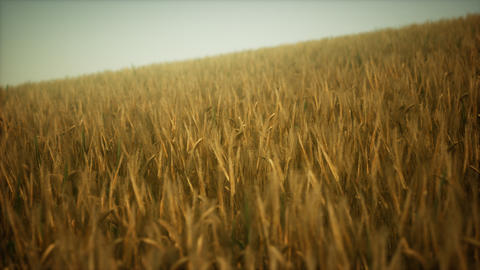 Ripe yellow rye field under beautiful summer sunset sky with clouds GIF