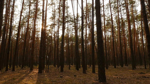 The sun shines through the trees. Beautiful pine forest. Beautiful place. The Live Action