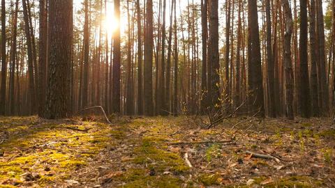Beautiful pine forest at sunset. Bright sun rays shine through the trees ビデオ