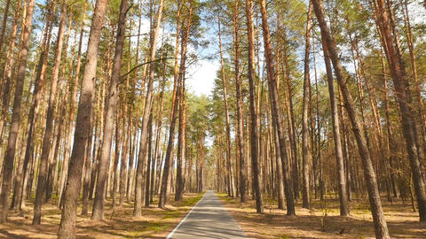 Large pine forest. Long asphalt road. Old trees. Movement of the camera forward Live Action