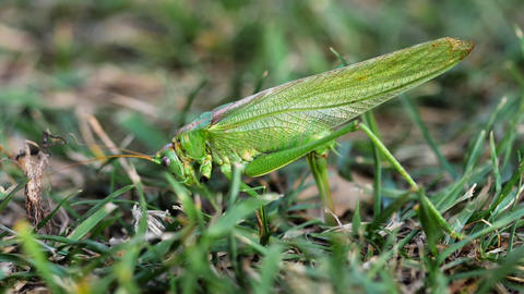 Big green locust female lays eggs ビデオ