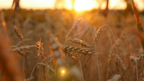 Ears of wheat. Beautiful golden field. Close-up. Camera movement across the Live Action