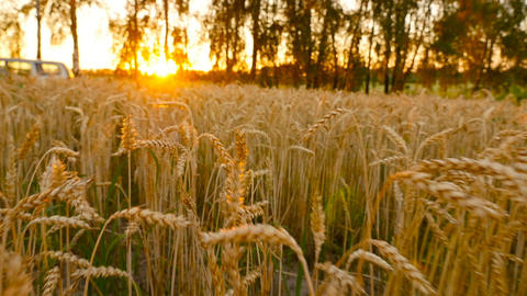 Sunset on the field with yellow wheat. A beautiful field with a crop. Camera Footage