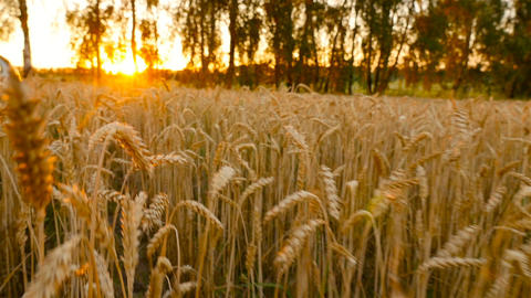 Sunset on the field with yellow wheat. A beautiful field... Stock Video Footage