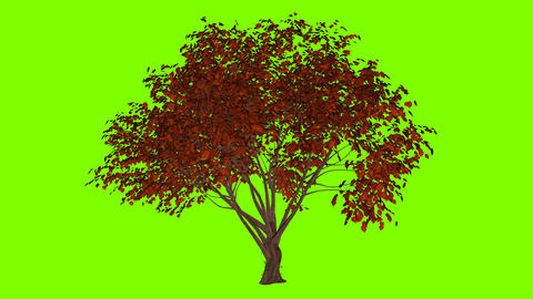 3d object tree sways in the wind, green screen, animation Footage