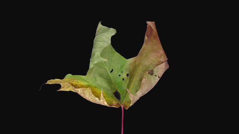 Time-lapse of drying Maple leaf in RGB + ALPHA matte Live Action