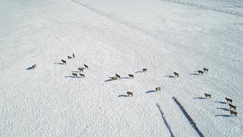 Herd of Wild siberian deer Archivo