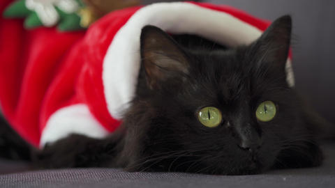 Close up portrait of a black fluffy cat with green eyes dressed as Santa Claus Archivo