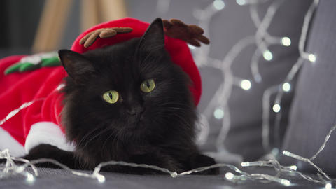 Close up portrait of a black fluffy cat with green eyes dressed as Santa Claus Footage