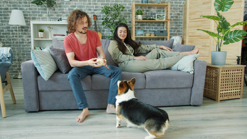 Young man playing with corgi dog throwing ball relaxing on couch with girl Footage