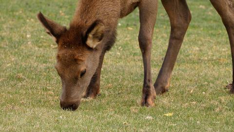 A herd of wild elks grazing on grass Archivo