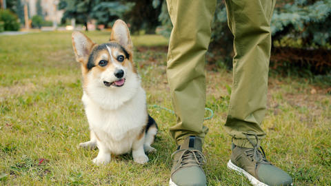 Slow motion of lovable dog corgi breed sitting on grass near male owner's legs Archivo