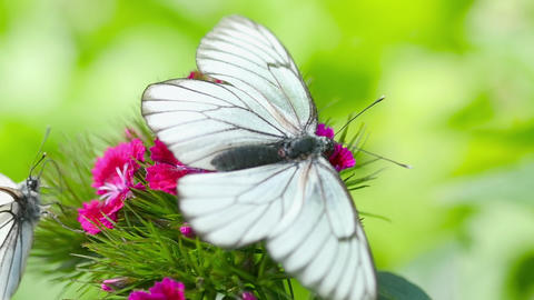 Black veined white butterfly GIF
