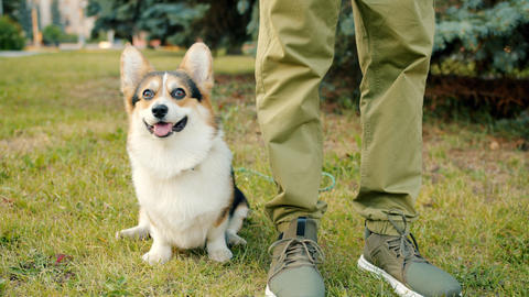 Friendly and obedient doggy welsh corgi breed sitting on grass near owner's legs Archivo