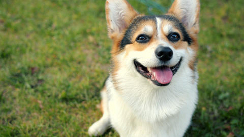 Close-up of obedient corgi dog sitting on green meadow looking at camera Archivo