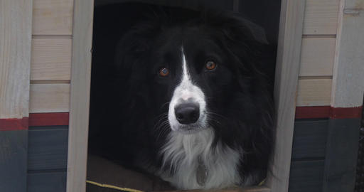 Border Collie Dog in its Dog House, male, Picardy in France, Real Time 4K Footage