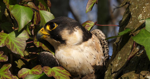 Peregrine Falcon, falco peregrinus, Adult looking around, Normandy, Real Time 4K Footage
