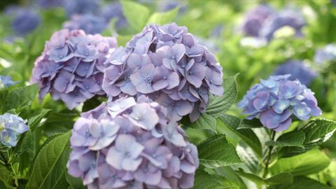 Close up purple hydrangea, color grade, in Japan - 紫のアジサイ 寄り 日 Footage