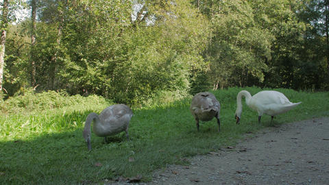 Gray Swans Eat The Grass Live Action