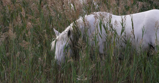 Camargue Horse, Mare standing in Swamp, Saintes Marie de la Mer in The South of France, Real Time 4K Live Action