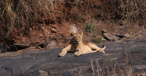 African Lion, panthera leo, Cub standing on Rock, Nairobi Park in Kenya, Real Time 4K Live Action