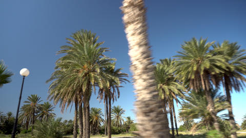 Palm Alley. Palm trees grow along the road. The camera moves and removes palm Live Action
