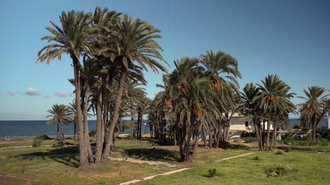 Glade of tall palm trees. The wind shakes the leaves of the trees. Palm trees Live Action