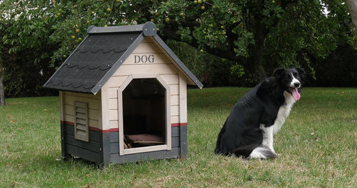 Border Collie Dog in its Dog House, male, Picardy in France, Real Time 4K Live Action
