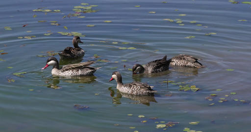 Red-Billed Teal, anas erythrorhyncha, Group standing in Water, Nairobi Park in Kenya, real Time 4K Live Action