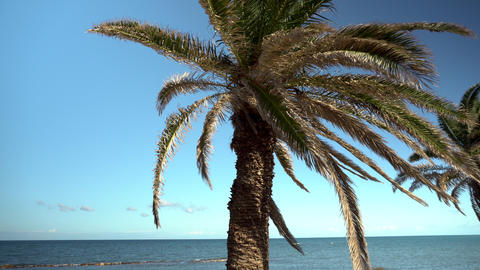 Palm tree stands in front of the sea. The camera moves the view from a palm tree Live Action