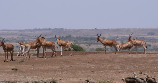 Hartebeest, alcelaphus buselaphus, Herd standing in Savanna, Nairobi Park in Kenya, Real Time 4K Live Action