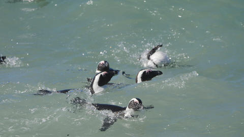 Penguins at Boulders Beach, Cape Town Footage
