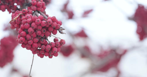 Red mountain ash and snow Live Action
